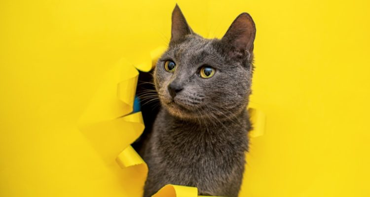 Chat-gris