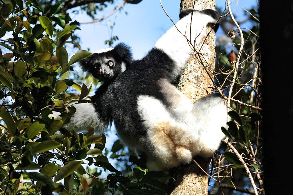 le fameux indri indri : plus grand lémurien diurne